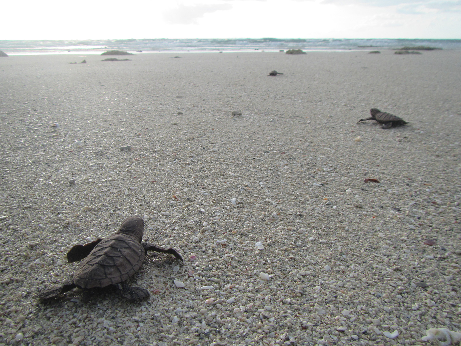 Hatchlings on Milman Island | Photo Kerri Woodcock