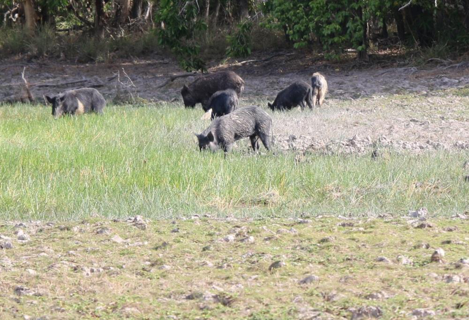 Feral Pigs on Cape York