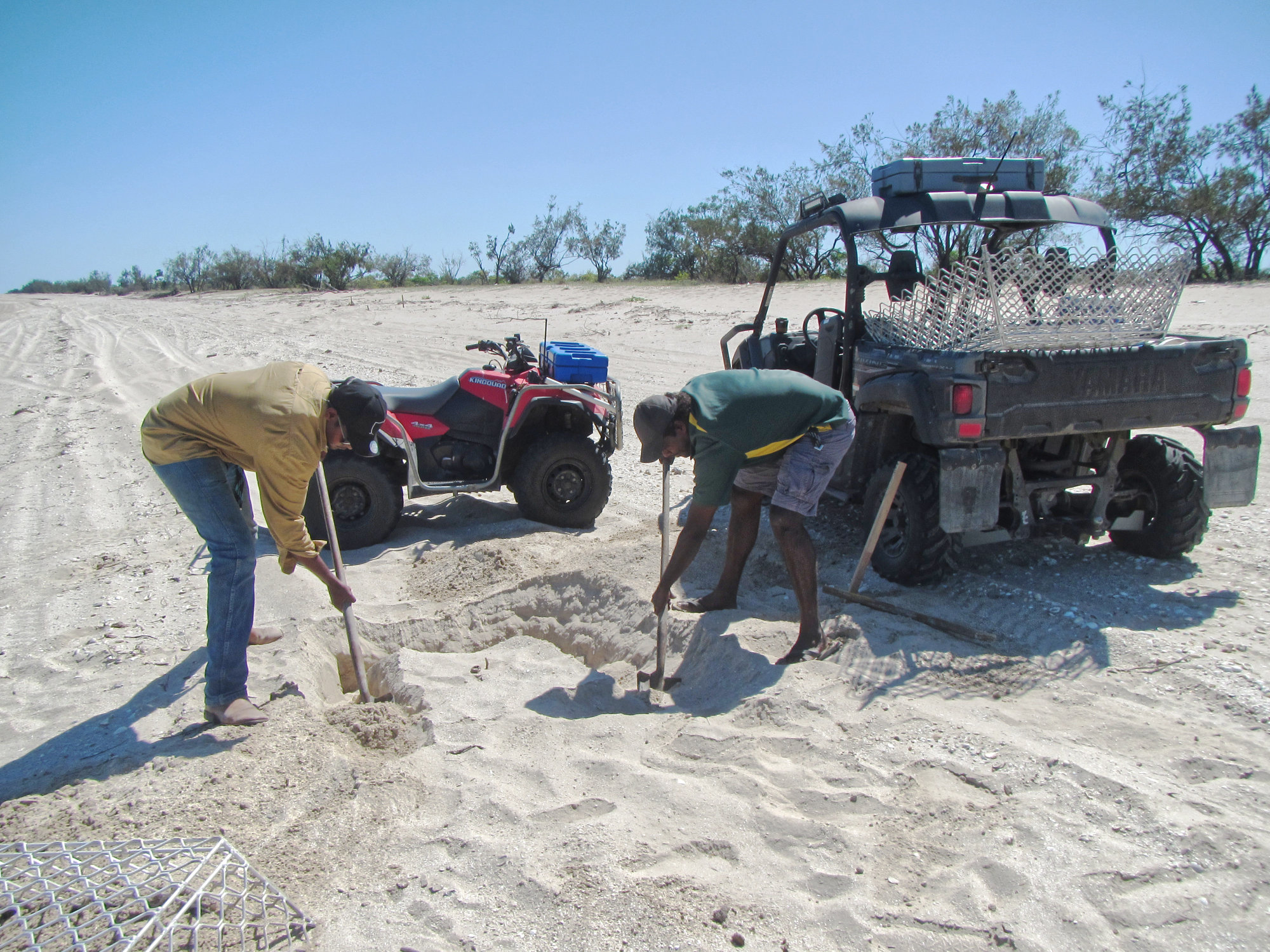 PORMPURAAW RANGERS INSTALLING A NEST PROTECTION CAGE ON AN OLIVE RIDLEY NEST