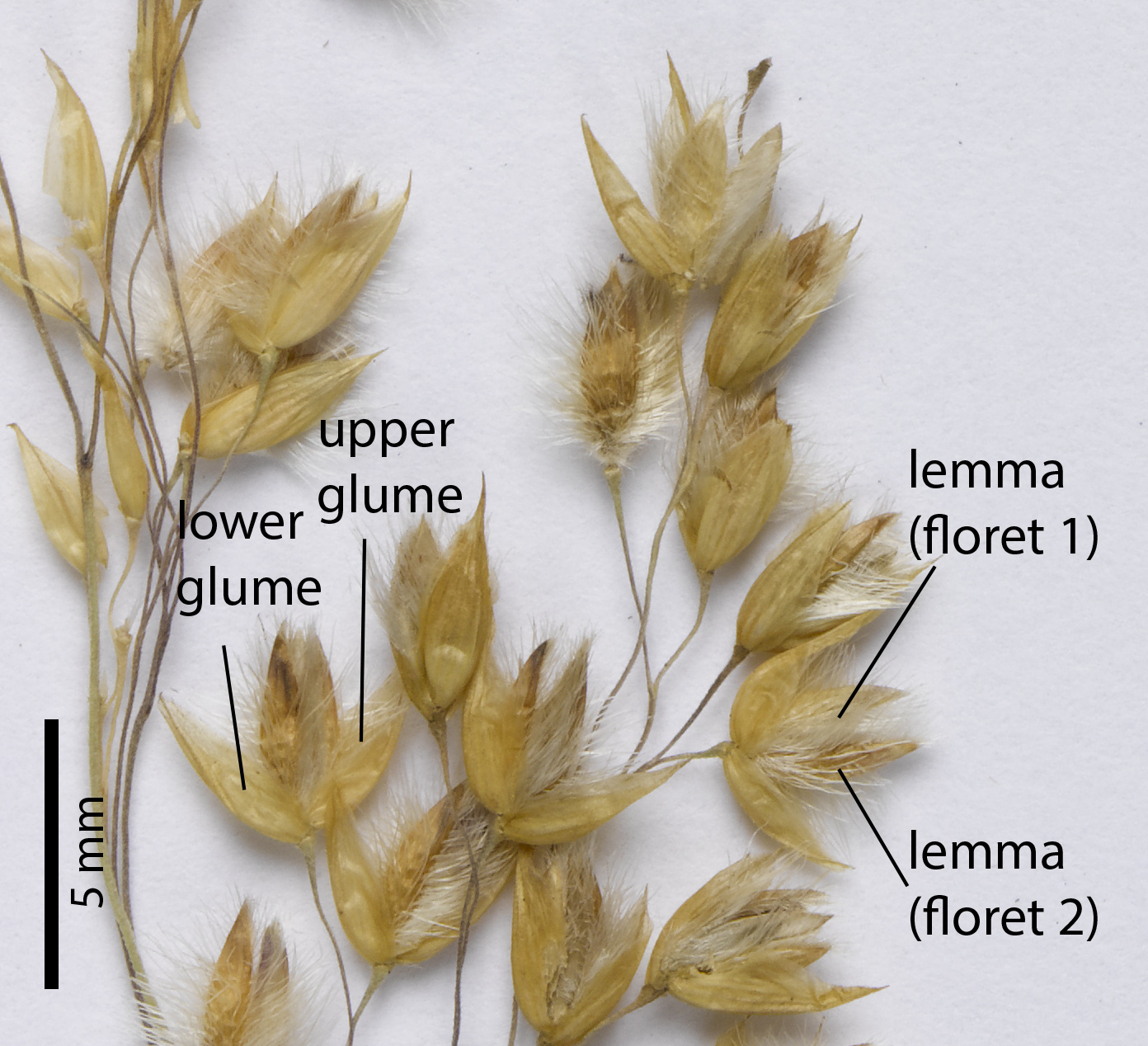 Fig. 5. Section of inflorescence of a pressed specimen of Eriachne mucronata (CNS136707), showing spikelet detail.