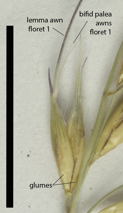 Fig. 2. Mature spikelet of E. vesiculosa (MBA9052) (scale bar = 1 cm)