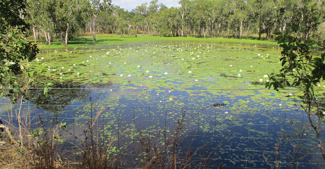 CAMERA TRAPS SET ON THE LAGOONS CAPTURED MANY IMAGES OF HORSES, CATTLE AND PIGS IN THE WETLAND PHOTO ABOVE | LILY LAGOON IS RECOVERING WELL, WITH THE AQUATIC PLANTS THRIVING