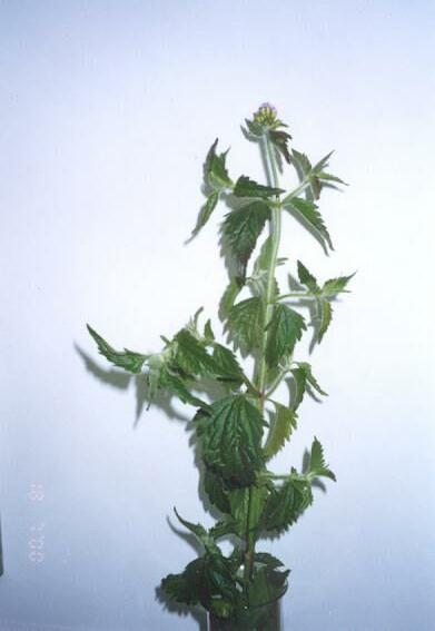 Eupatorium catarium